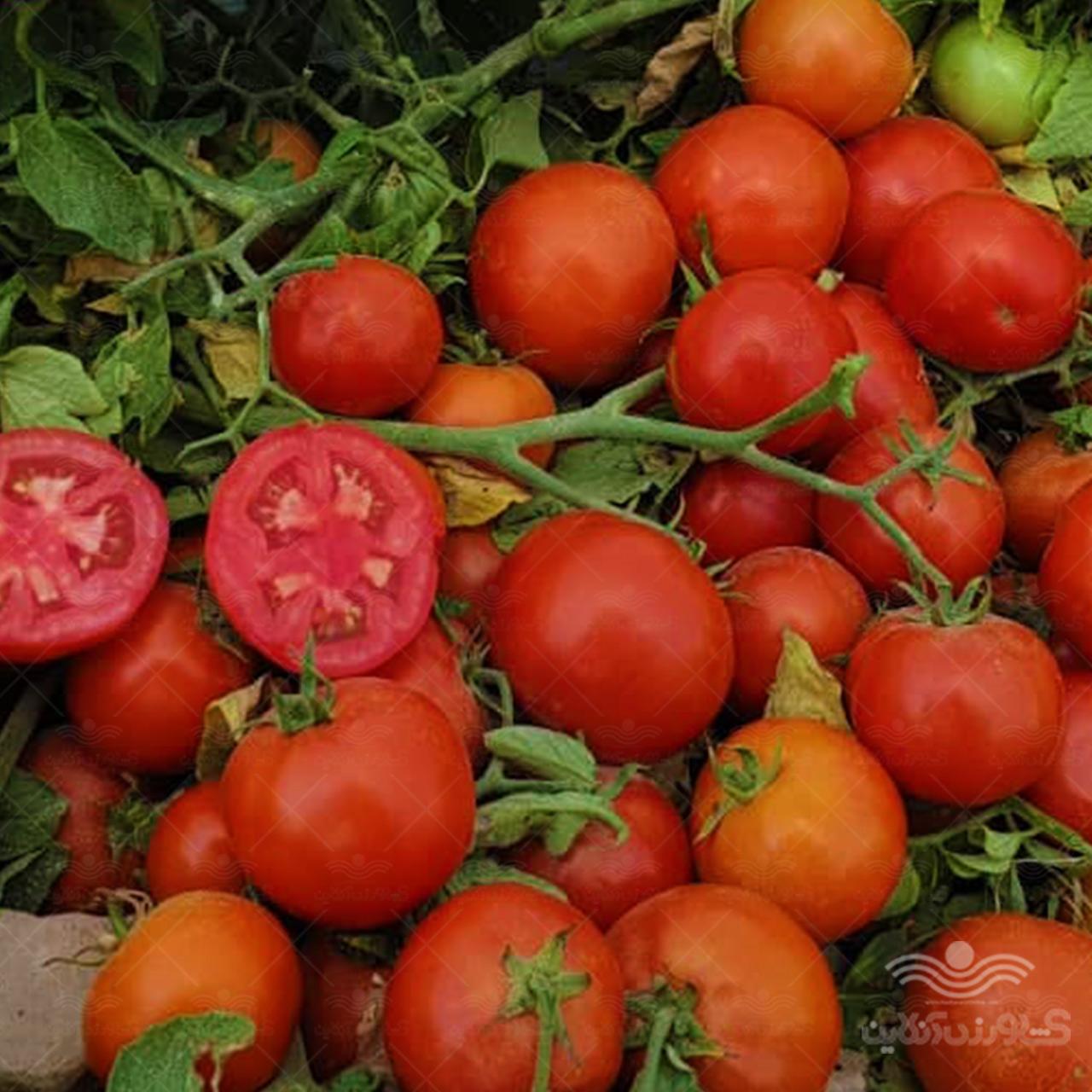 بذر گوجه فرنگی تروی تایلند ویژه صادرات