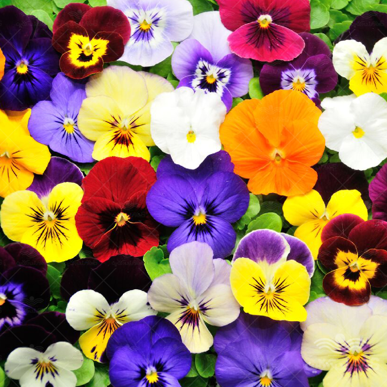 بذر گل بنفشه الوان میکس