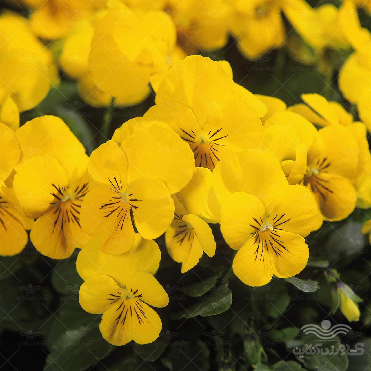 بذر بنفشه زرد