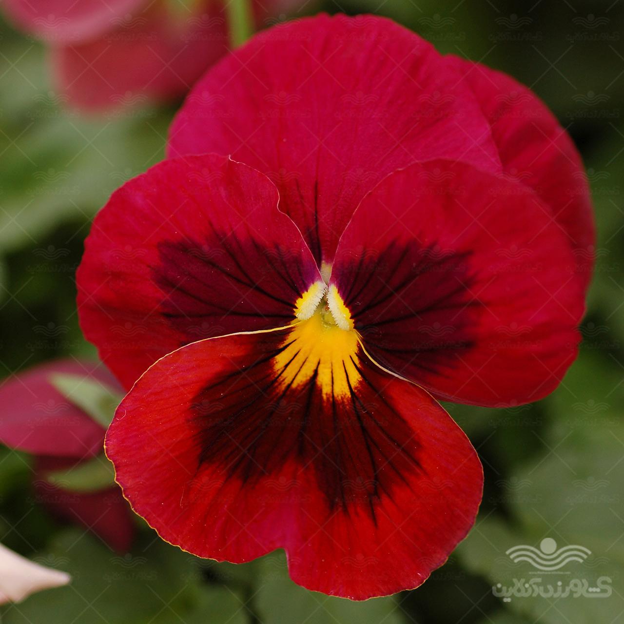 بذر گل بنفشه قرمز خالدار