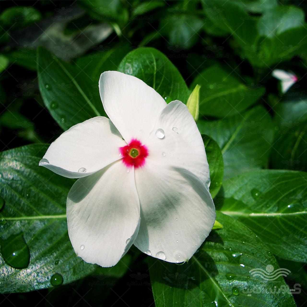 بذر پریوش سفید