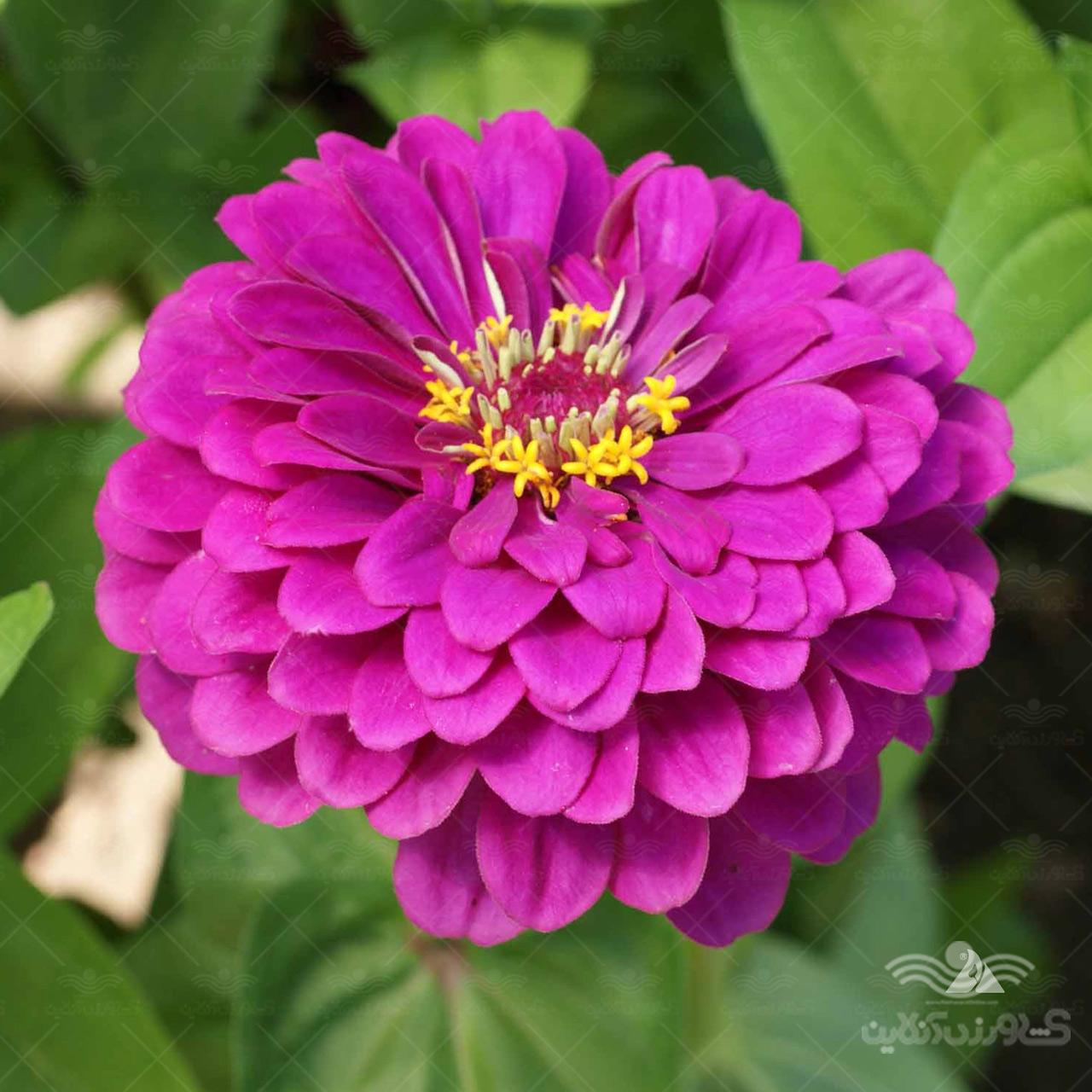بذر گل آهار ارغوانی و روش کاشت