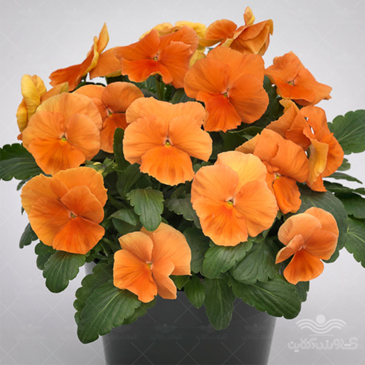 بذر گل بنفشه پرتقالی
