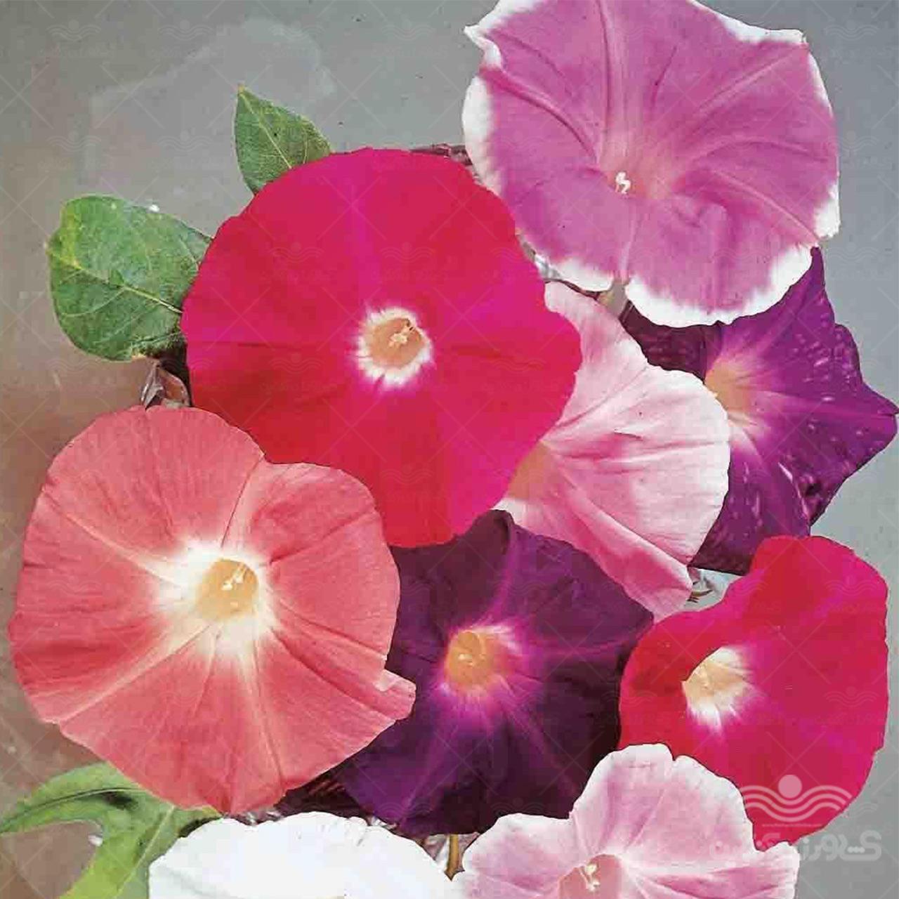 بذر گل نیلوفر رونده هلندی الوان