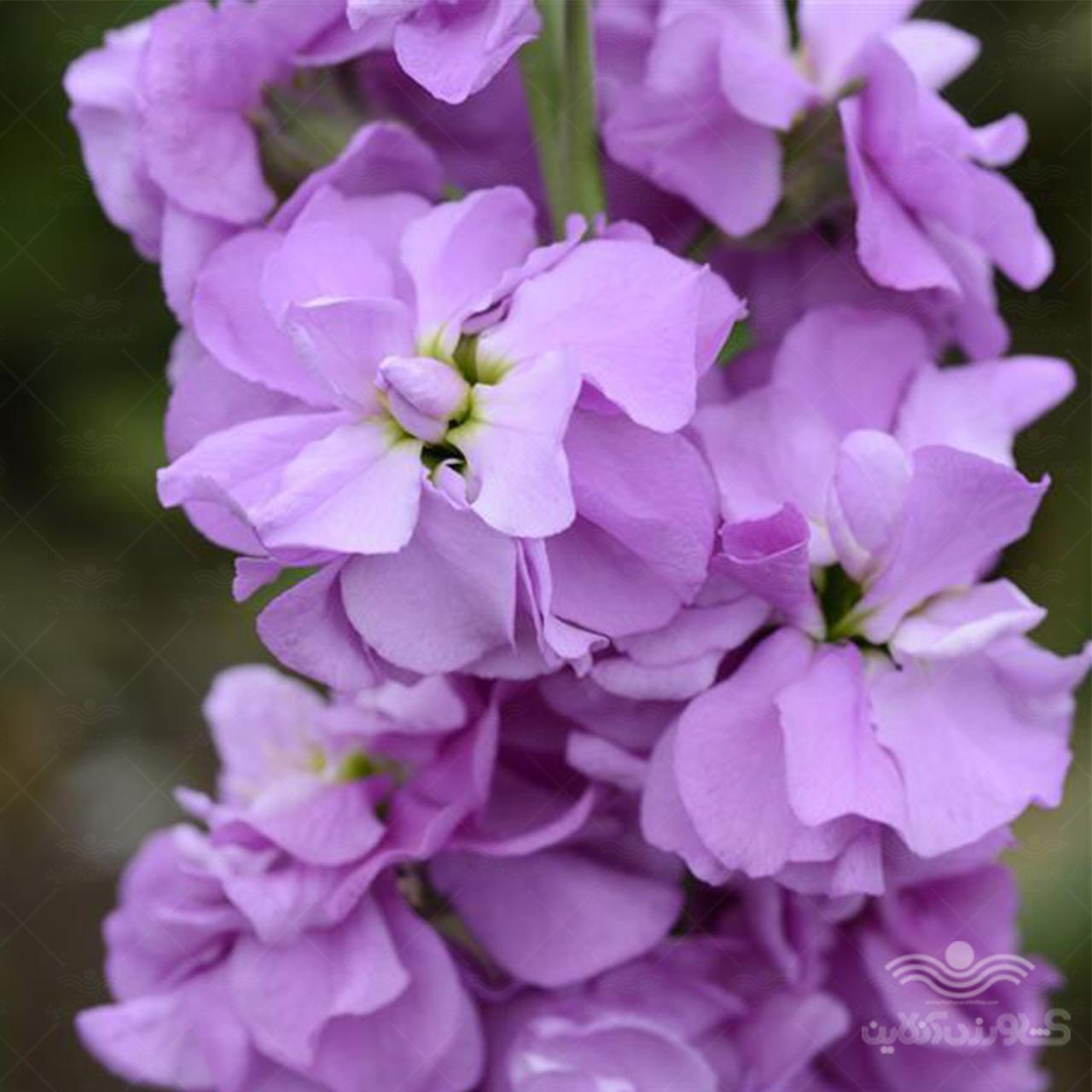 بذر گل شب بو آمریکایی لوندر
