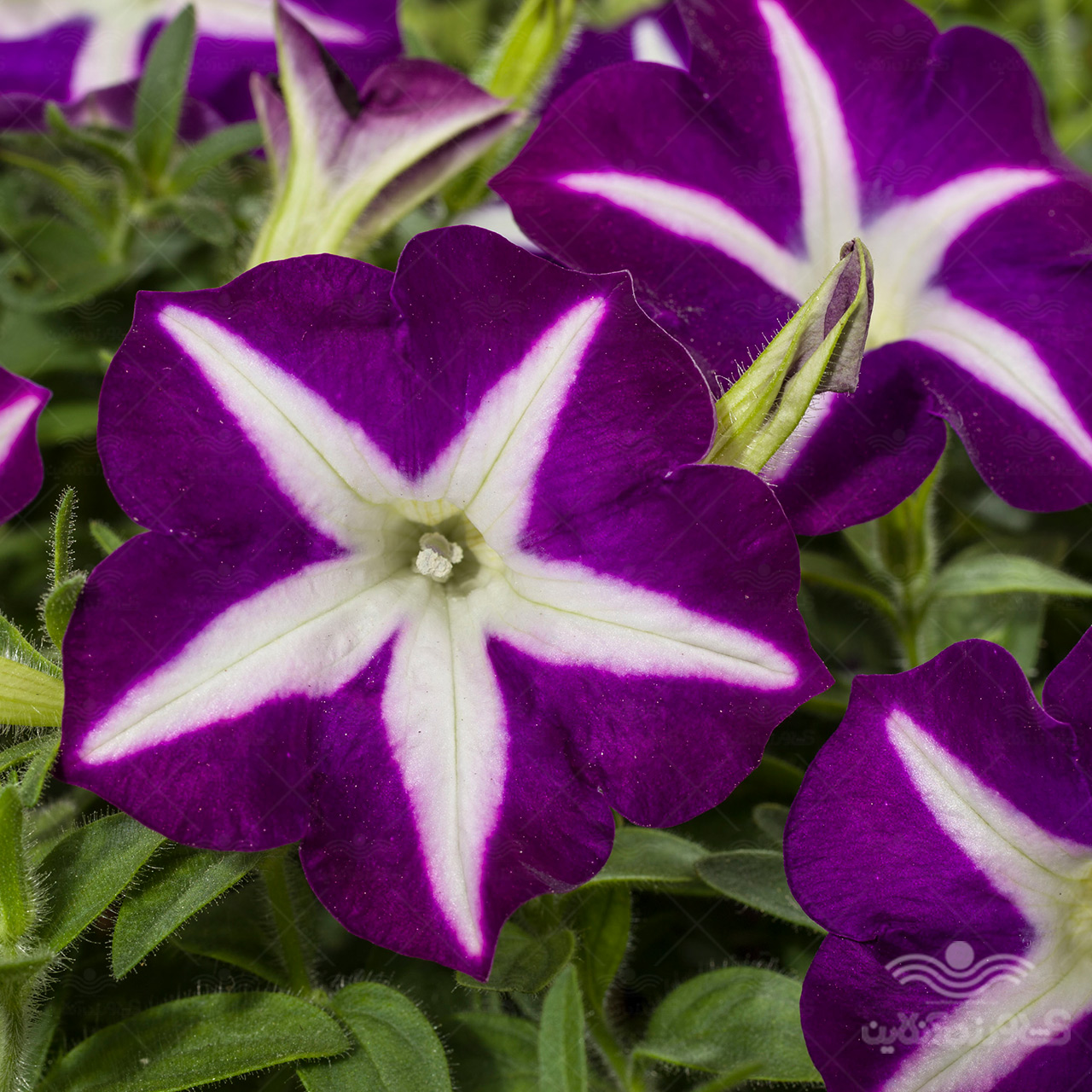 بذر گل اطلسی بنفش ستاره ای