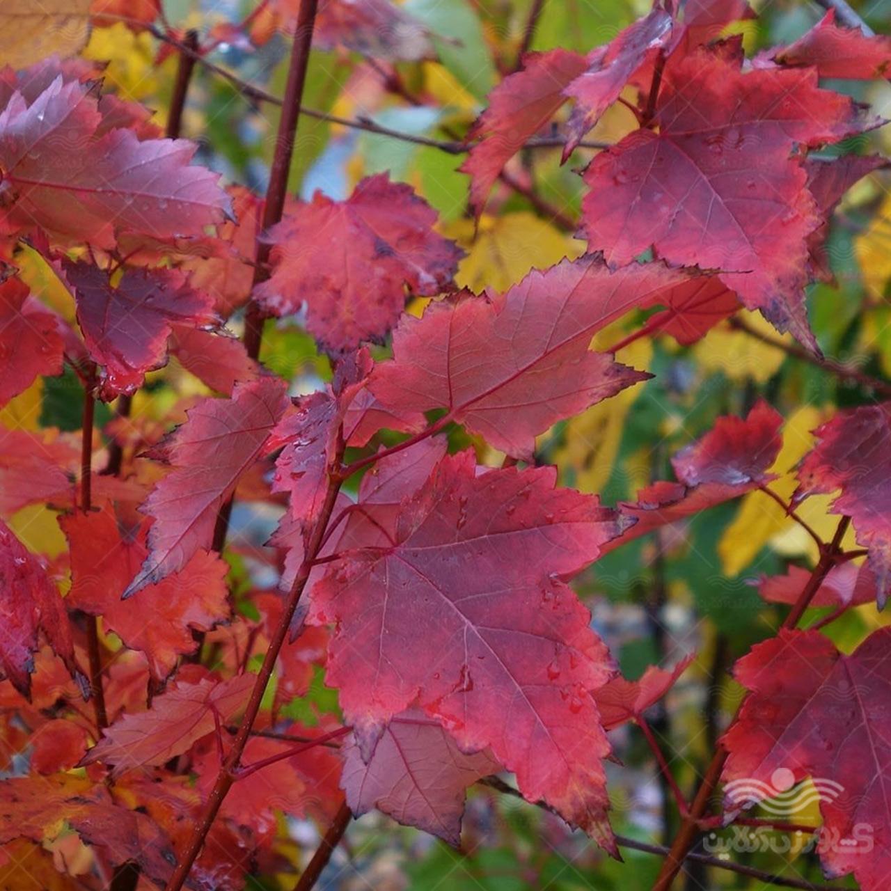 بذر درخت افرا روبروم قرمز