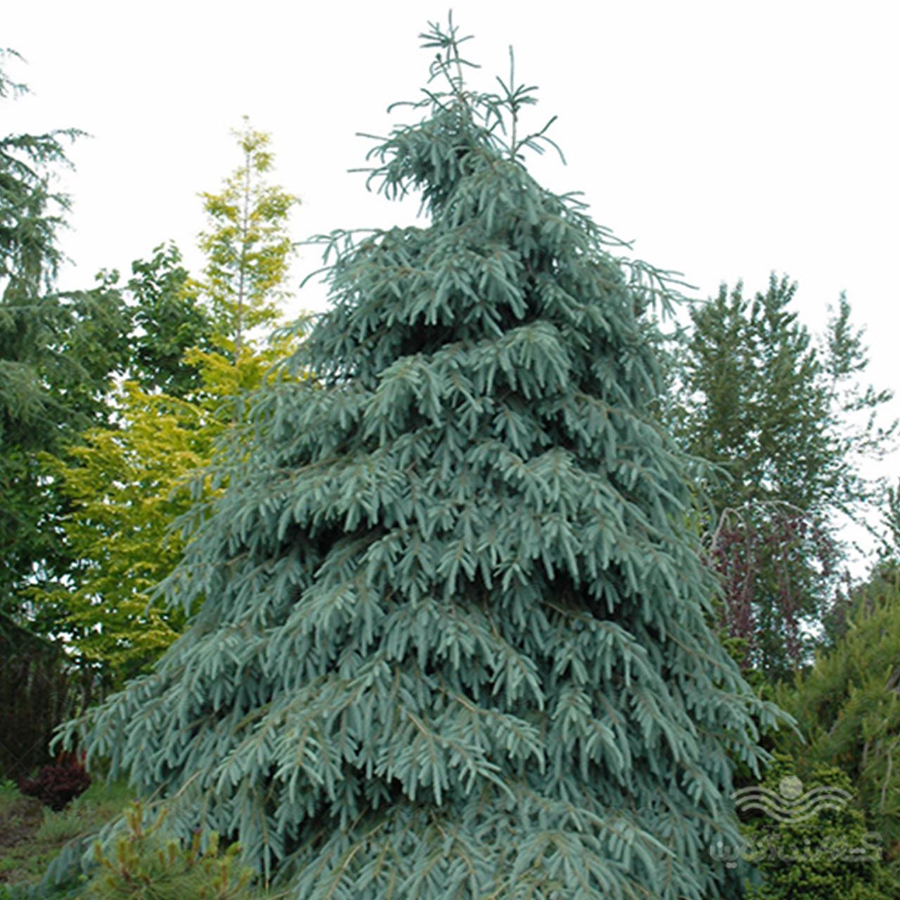 بذر کاج کریسمس نوئل سبز آبی