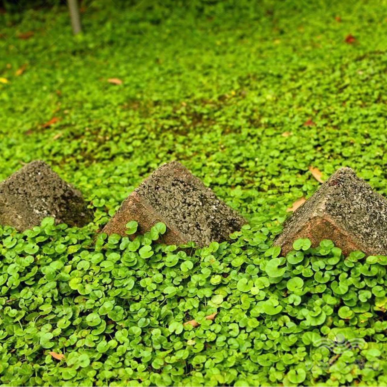 بذر چمن خانگی دایکوندرا (شبدر زینتی)