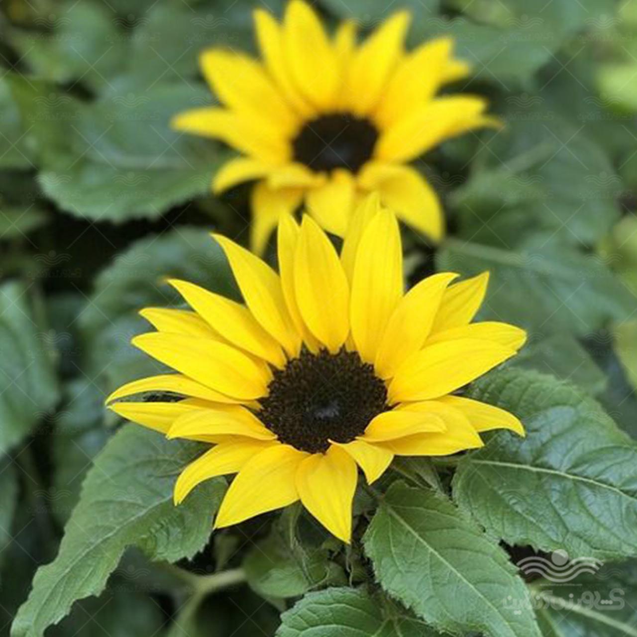 بذر گل آفتابگردان زینتی زرد