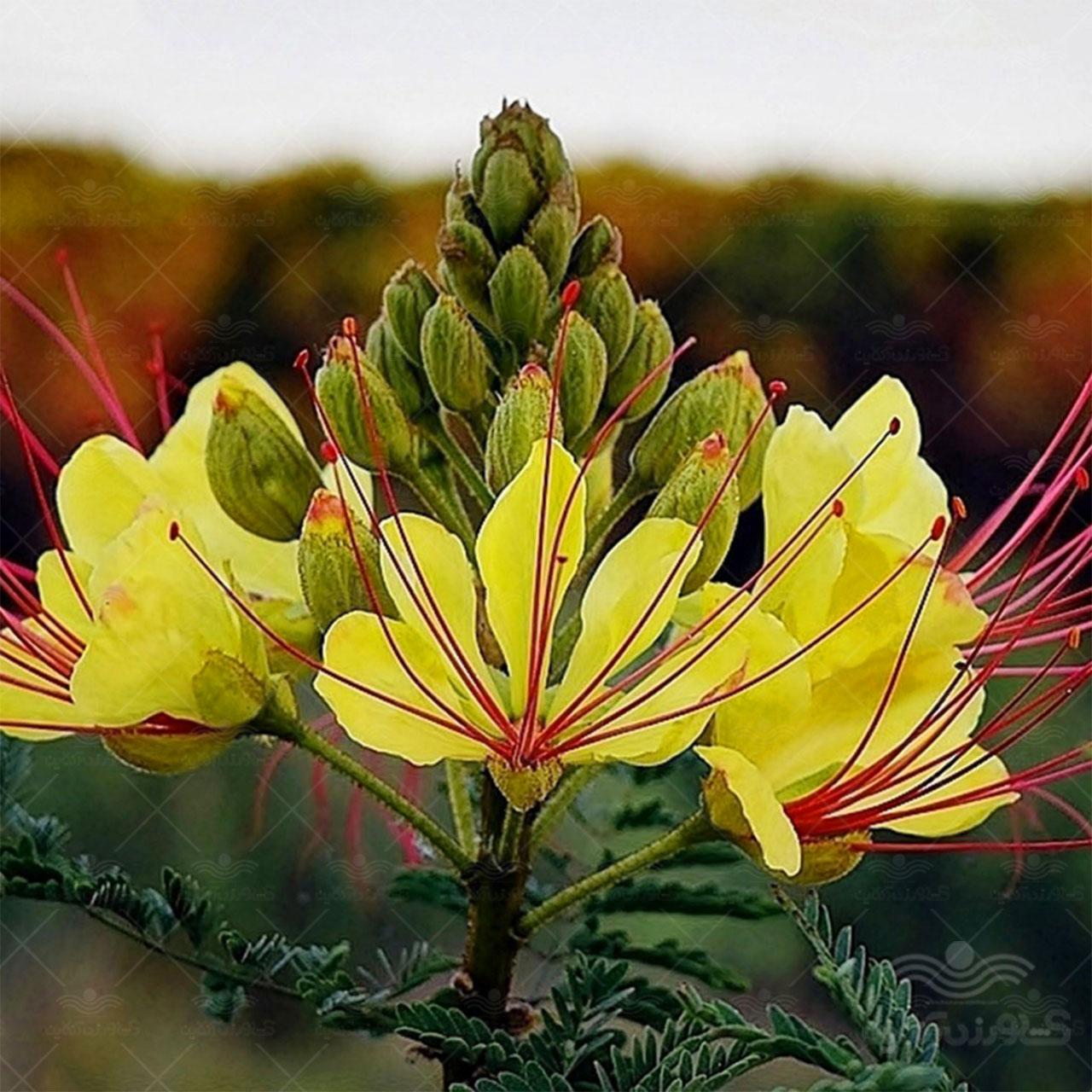 بذر گل ابریشم مصری