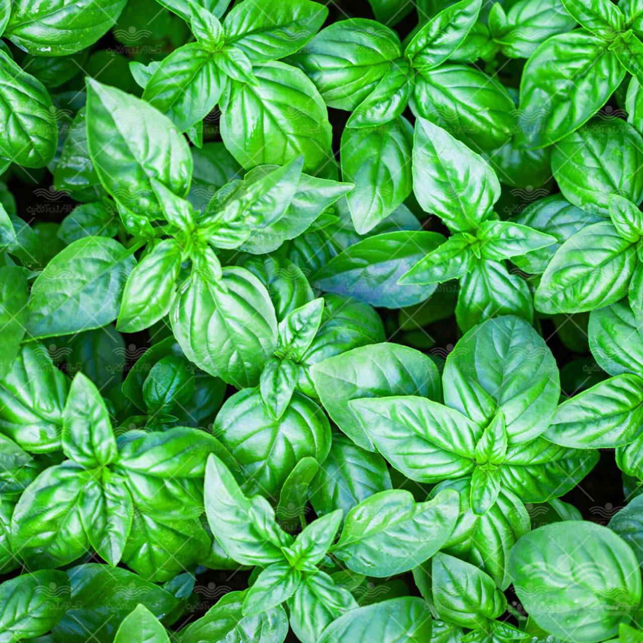 بذر سبزی ریحان سبز 20 گرمی